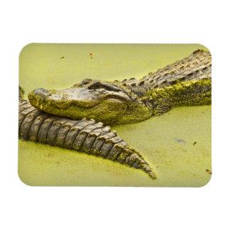 Gator Nap Time in Duckweed Magnet