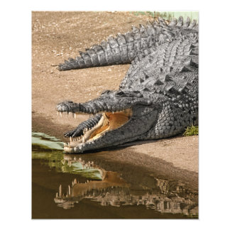 Gator Portrait  with Mouth Wide Open Photograph