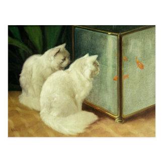 Gatos blancos que miran el Goldfish Postales