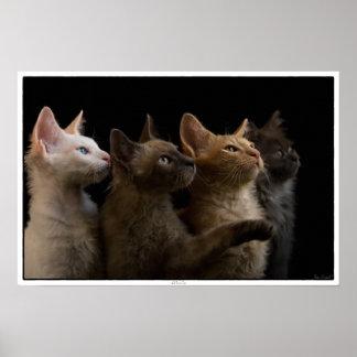 Gatos de LaPerm Póster