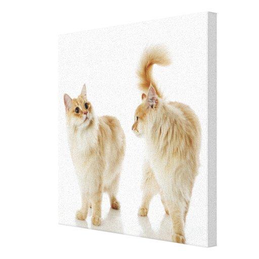 Gatos de Munchkin Impresiones En Lienzo Estiradas