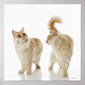 Gatos de Munchkin Póster