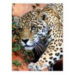Gatos grandes - 10 tarjetas postales