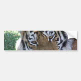 GATOS GRANDES de los ANIMALES SALVAJES de la Tigre Pegatina De Parachoque