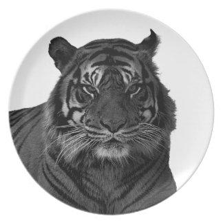 Gatos salvajes en peligro tigre de la especie blan platos
