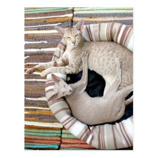 ¡Gatos siameses apenas Chillin! Tarjetas Postales