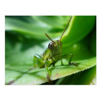 Gaudy grasshopper postcard