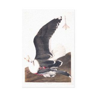 Gaviota apoyada negra de la placa 241 de Audubon Impresiones De Lienzo
