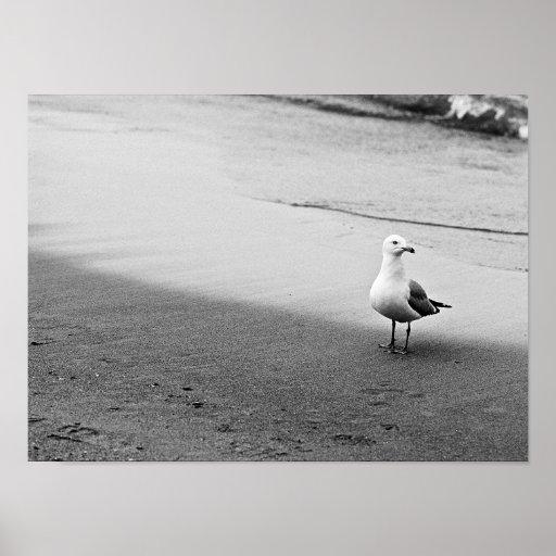 Gaviota atlántica en blanco y negro póster
