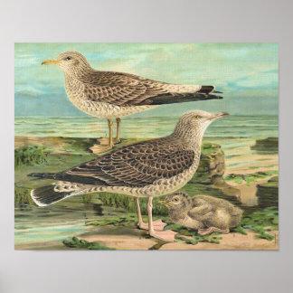 Gaviota común y gaviota de arenques posters