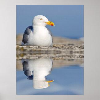 Gaviota de arenques con la reflexión grande en el impresiones