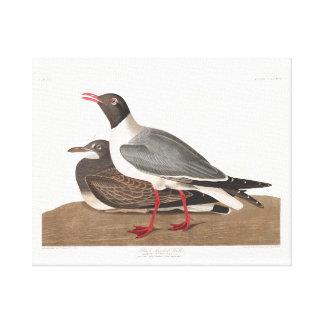 Gaviota de cabeza negra de la placa 314 de Audubon Impresiones De Lienzo