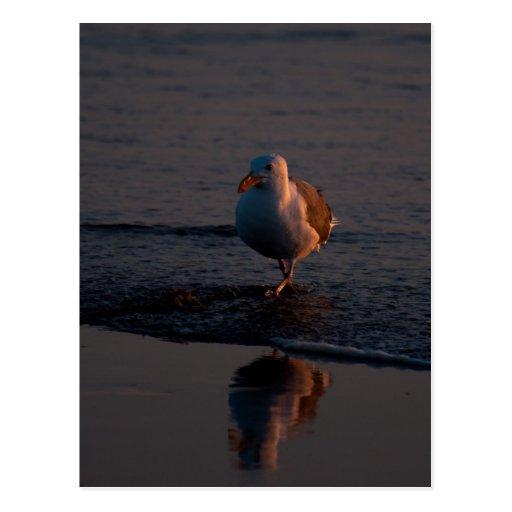 Gaviota occidental en la puesta del sol postales