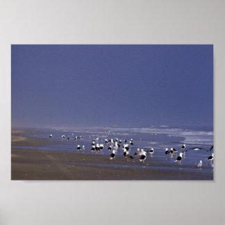 Gaviotas de espalda negra en la línea de la playa impresiones
