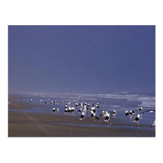 Gaviotas de espalda negra en la línea de la playa tarjeta postal
