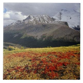Gayuba en el pico temprano de Athabasca del otoño  Azulejo Cuadrado Grande