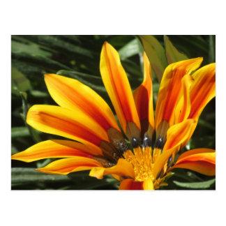 Gazania Bloom Postcard