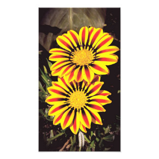 Gazania Flowers In Full Bloom Photo Print