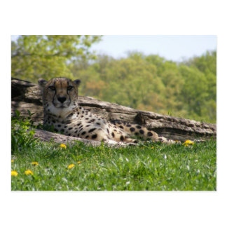 Gaze of the Cat: Cheetah Postcards