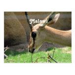Gazelle de Malawi Postales