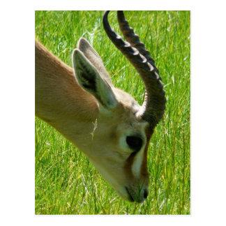Gazelle Grazing Postcard