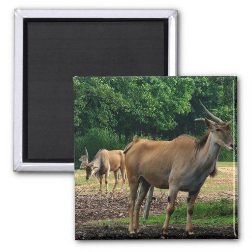 Gazelle, parque zoológico del animal salvaje, 羚. iman de nevera