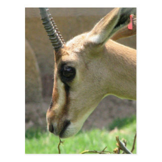 Gazelle Postcards