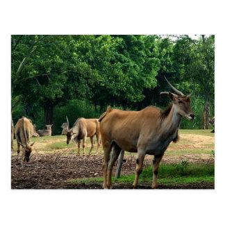 Gazelles Postcard