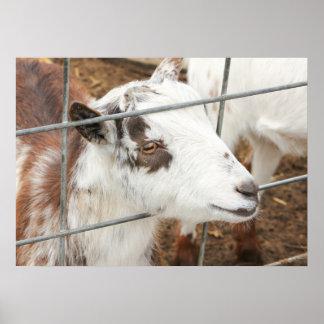 Gazing Goat Poster