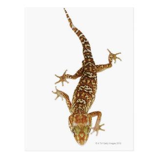 Gecko de tierra de Madagascar (pictus de Tarjeta Postal