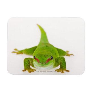 Gecko del día de Madagascar madagascariensis de P Imán