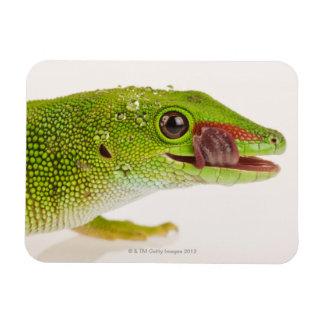 Gecko del día de Madagascar madagascariensis de P Imán Flexible