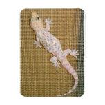 Gecko superior de la casa de la Florida del imán d