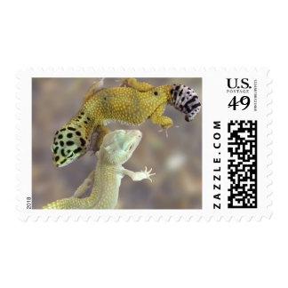 Geckos del leopardo - suposición de la sensación sellos