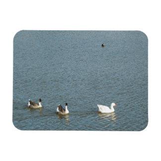 Geese and Coots at Atascadero Lake Park Rectangular Magnet