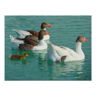 Geese family swimming in blue water poster