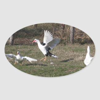 Geese fighting oval sticker