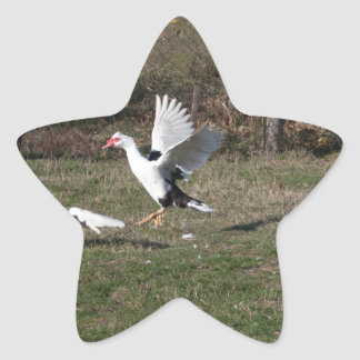 Geese fighting star sticker