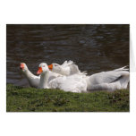 Geese in the Duckpond Greeting Card