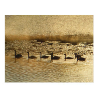 Geese on Golden Pond Postcard