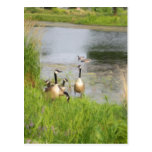 Geese Painting Postcard