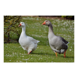 Geese walking on grass poster