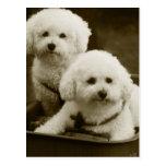 Gemelos blancos del perrito del caniche postales