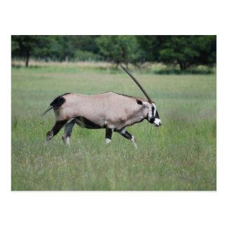 Gemsbok antelope postcard
