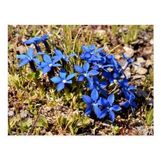 Genciana de la primavera en las montañas francesas postales