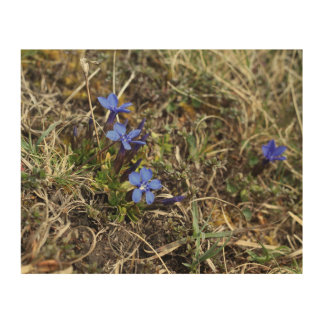Genciana la flor del burren cuadros de madera