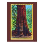 """General Sherman,"" 5000 Years Old, Big Trees Park Postcards"