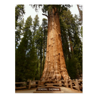 General Sherman Giant Sequoia Postcard Post Cards