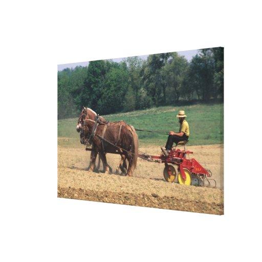 Gente simple del país de Amish en el cultivo con Impresión En Lienzo