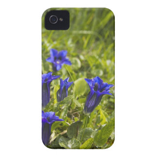 Gentian flowers cover carcasa para iPhone 4